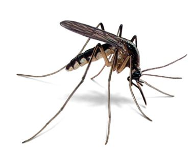 http://cdn.orkin.com/images/mosquitoes/mosquito-illustration_360x286.jpg